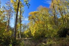 Autumn Beech Woods foto de stock