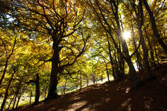 Autumn beech woods with yellow trees foliage in mountain forest Royalty Free Stock Photos
