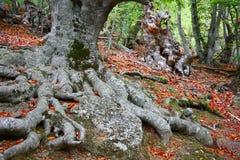Autumn in beechen grove. Stock Photos