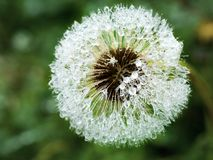 Plate of autumn grass covered with droplets of dew Royalty Free Stock Photography