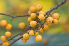 Autumn Berries Royalty Free Stock Photos