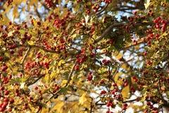 Autumn berries Stock Images