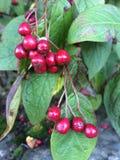 Autumn Berries royaltyfri fotografi
