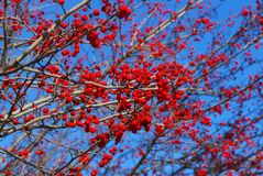 Autumn berries Stock Image