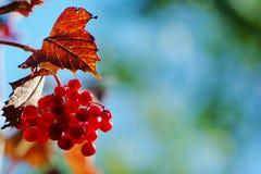 Autumn berries. Autumn viburnum berries on the bush in sun light Royalty Free Stock Images