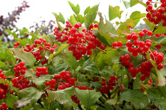 Autumn Berries. Raindrops falling off autumn berries Royalty Free Stock Images