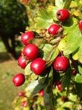 Autumn Berries Arkivfoton