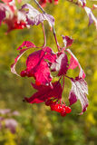 Autumn Berries Photos libres de droits