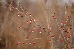 Autumn Berries Imagem de Stock Royalty Free