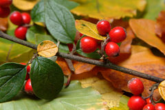 Autumn Berries. Red berries against autumn leaves background Royalty Free Stock Photo