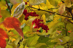 Autumn Berries royaltyfri bild