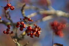 Autumn Berries Foto de Stock Royalty Free