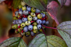 Autumn Berries Fotografia Stock