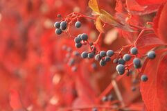 Autumn berries Royalty Free Stock Photography