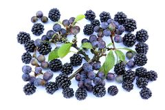Autumn berries. Blackberries and sloes on a white background stock images