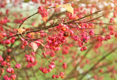 Autumn berries on a Euonymus europaeus `Red Cascade` spindle tree stock photo