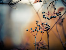 Autumn berries. Fall season black berries at abstract background Stock Photos