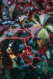 San Pietro`s Berries. Autumn berries growing before the Church of San Pietro Stock Photography