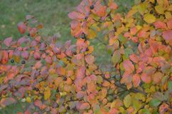 Autumn berries and leaves on the branches of a Bush. Autumn berries and color leaves on the branches of a Bush stock photo