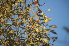 Autumn. Berries Mistletoe on the tree Royalty Free Stock Images