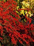 Autumn berries Royalty Free Stock Photos