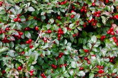 Autumn Berries Red Gaultheria Royalty Free Stock Images