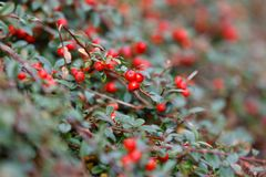 Autumn berries red gaultheria Royalty Free Stock Photography