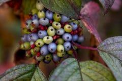 Autumn berries Stock Photo