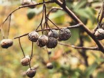Autumn Berries secado imagen de archivo libre de regalías