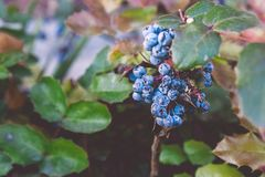 Autumn Berries On The Shrub azul fotografia de stock