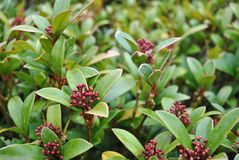 Autumn berries: skimmia Stock Photo
