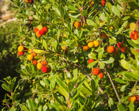 Autumn berries, Skiros, northern Sporades, Greece. Image of autumn berries, Skiros, northern Sporades, Greece Royalty Free Stock Photography
