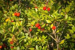Autumn berries, Skiros, northern Sporades, Greece. Image of autumn berries, Skiros, northern Sporades, Greece Royalty Free Stock Photo