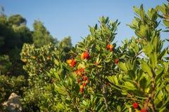 Autumn berries, Skiros, northern Sporades, Greece. Image of autumn berries, Skiros, northern Sporades, Greece Stock Images