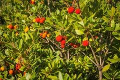 Autumn berries, Skiros, northern Sporades, Greece. Image of autumn berries, Skiros, northern Sporades, Greece Royalty Free Stock Image
