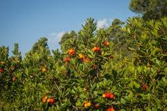 Autumn berries, Skiros, northern Sporades, Greece. Image of autumn berries, Skiros, northern Sporades, Greece Stock Photo