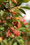 Autumn Berries. On a tree in Bath, Somerset, England Royalty Free Stock Images