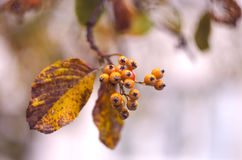 Autumn berries on the tree branch. Fall background with yellow leaves, orange berries in front of blurred background. Royalty Free Stock Photo