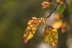 Autumn berries on the tree branch. Fall background with yellow leaves, orange berries in front of blurred background. Royalty Free Stock Images