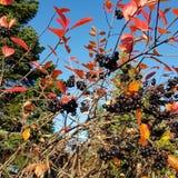 Autumn Berry Blid-som Royalty-vrije Stock Afbeeldingen