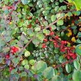 Autumn Berry Blid-som Stock Foto's