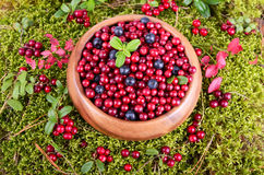 Autumn berrys in moss Royalty Free Stock Photo