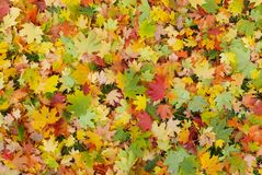 Autumn best colours. Best colors of autumn maple leaves red green yellow royalty free stock photos