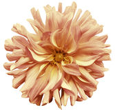 Autumn big flower yellow-pink-brown, yellow center on a white  background isolated  with clipping path. Closeup. big shaggy  flowe Stock Photo