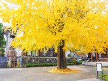Autumn Big ginkgo tree. In Nagasaki city, Japan Stock Photos