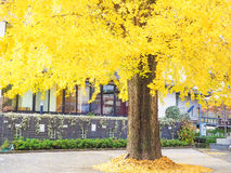 Autumn Big ginkgo tree Stock Photography
