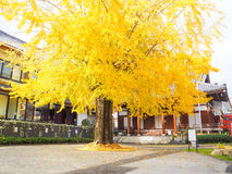 Autumn Big ginkgo tree. In Nagasaki city, Japan Royalty Free Stock Images