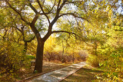 The autumn big tree and path Royalty Free Stock Photos