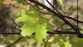 A big yellow maple leaf on a branch swings in the wind stock footage