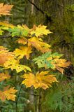Autumn bigleaf maple Stock Image